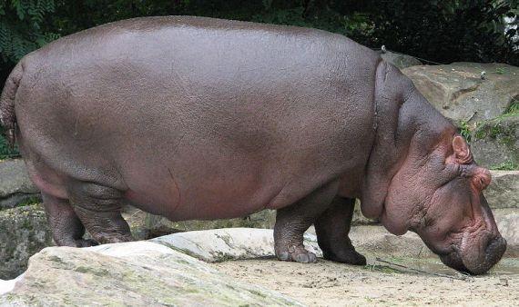 https://alfredoeblog.files.wordpress.com/2010/04/800px-nijlpaard.jpg?w=300