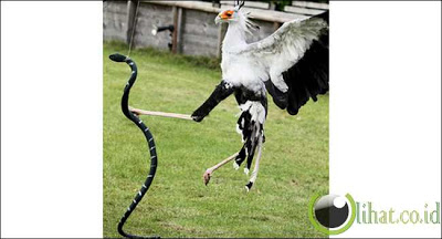 Burung Sekretaris dan Ular