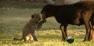 Pasangan Cheetah Muda Dan Domba