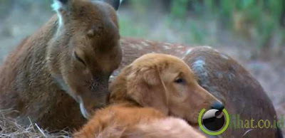 Pasangan Anjing Buta Dan Rusa